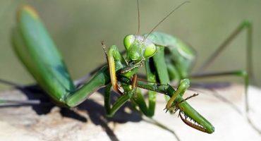 ¿Por qué la mantis hembra se come a su pareja?