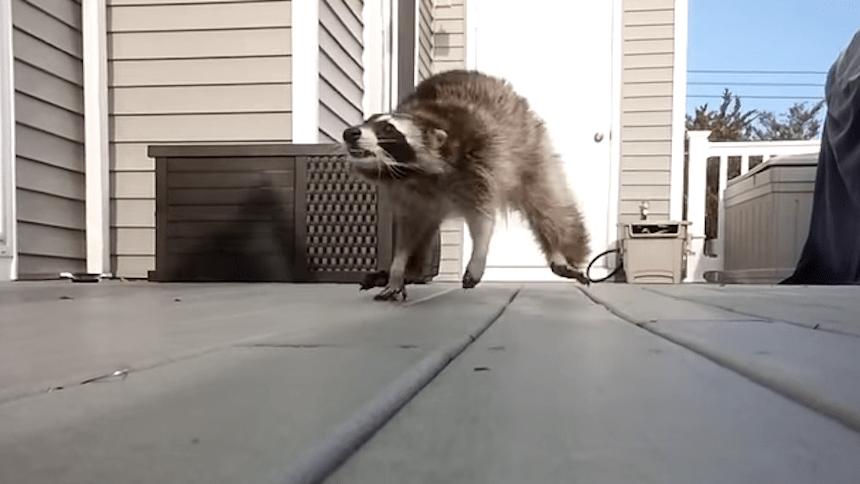 Esto pasa cuando le cantas un tiro a un mapache