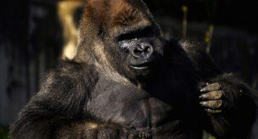 Sedema quiere reconstruir al gorila Bantú para su exhibición