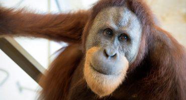 Conozcan a Rocky, el orangután que está aprendiendo a hablar