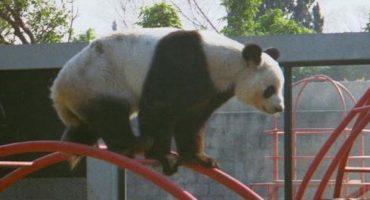 Pandas en México: ¿Una estirpe que está por llegar a su fin?