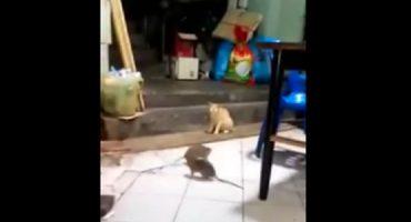¡Ahhh la naturaleza!: ratas pelean y ofrecen show a gato