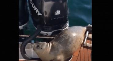 ¡Por poquito! Esta pobre foca se salvó de ser comida por varias orcas