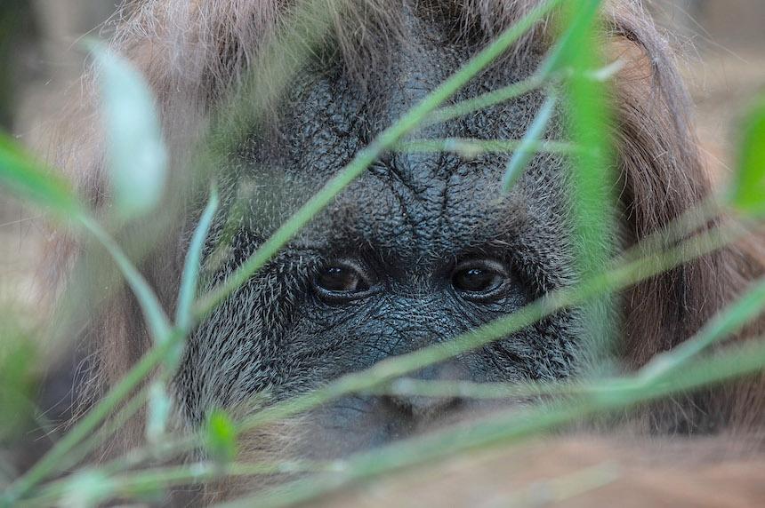 Rescatistas advierten que los orangutanes podrían extinguirse dentro de 10 años