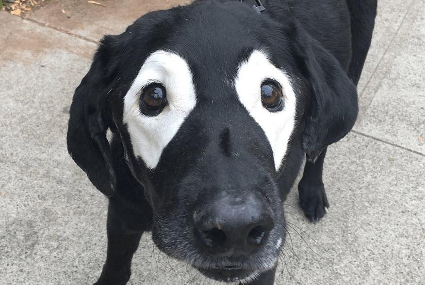 Este perrito con vitiligo conmovió a internet y causó una guerra de Photoshop
