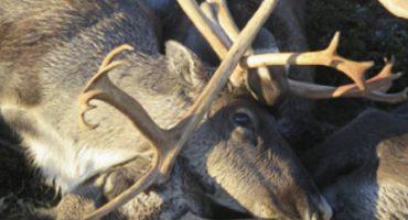 Tormenta eléctrica mata a 300 renos en Noruega