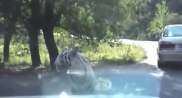 Dos de tigres: felino muestra poderío contra un auto y por qué no jugar con ellos
