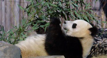 Panda se vuelve famoso tras divertido ataque de estornudos