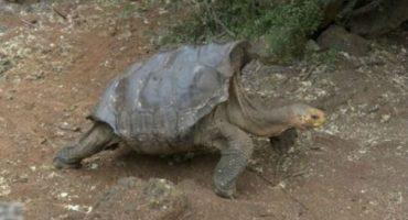 Héroe: tortuga salva de la extinción a su especie teniendo muuuuucho sexo