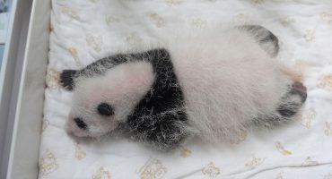 ¡Awww! El cachorro panda del zoológico de Shanghái ya tiene nombre