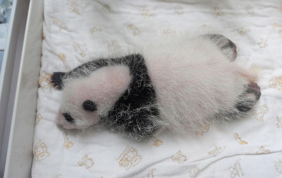 El panda de dos meses del zoológico de Shangai ya tiene nombre