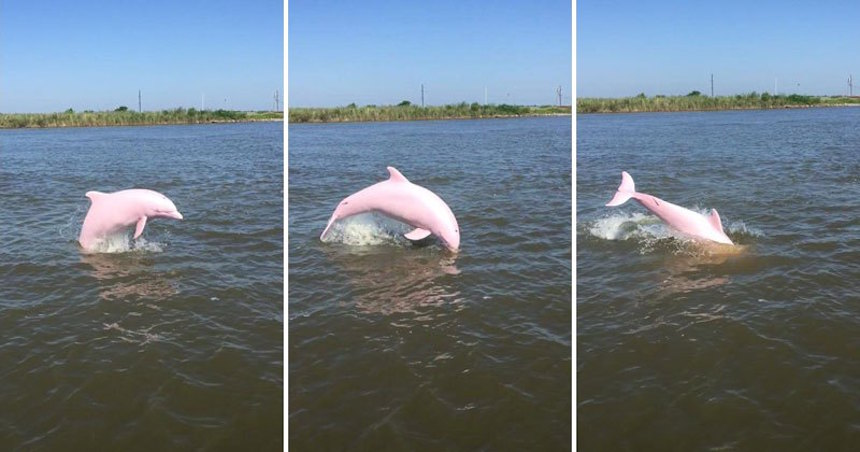 ¡Contemplen al majestuoso delfín rosado de Luisiana!