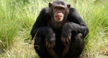 La ciencia lo confirma:  Los simios saben lo que piensas