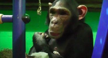 Demasiado adorable: el chimpancé que adoptó a un gatito