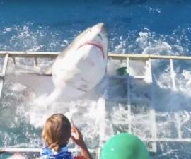 El ataque de un tiburón blanco
