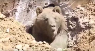 ¡No me molesten! Constructores cavan un agujero y desentierran a un oso