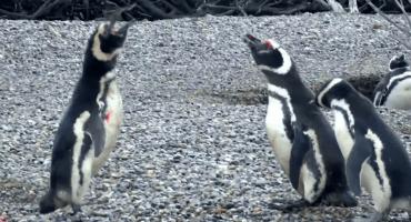 Devuélveme a mi chica: pingüinos pelean a muerte por una hembra