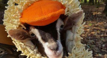 Awww... ¡esta tierna cabra se quita la ansiedad con un disfraz de patito!