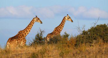 Las Jirafas se unen a la lista de especies en peligro de extinción