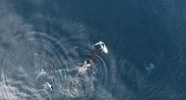 Unas orcas apañan a un tiburón en este video grabado por un drone