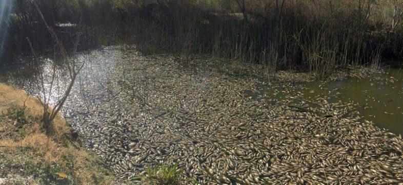 Peces muertos rio durango