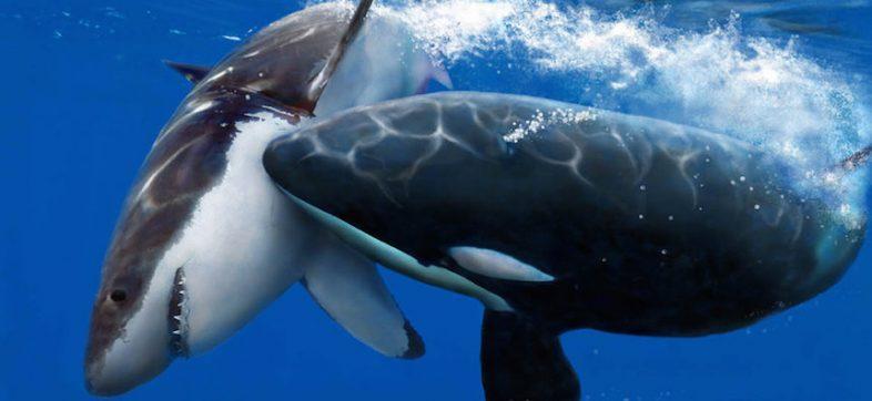 Orca vs Tiburón