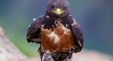 Y en la nota idiota del día: halcón camina como jefazo y arma la guerra de Photoshop