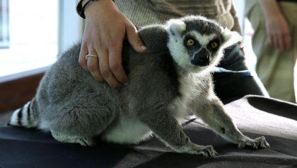 Lemur Primates Peligro de extincion