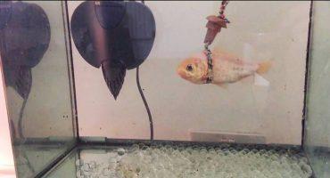 ¡Un pez de 23 años ya no podía nadar y su dueño creó un artefacto genial!