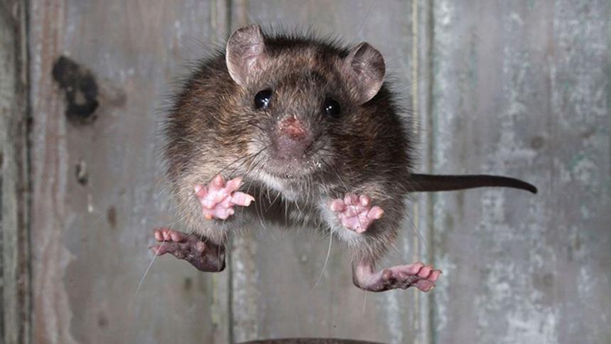 Ataque de Rata de Cuatro Patas