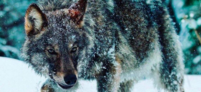 Game2: Winter - Lobo