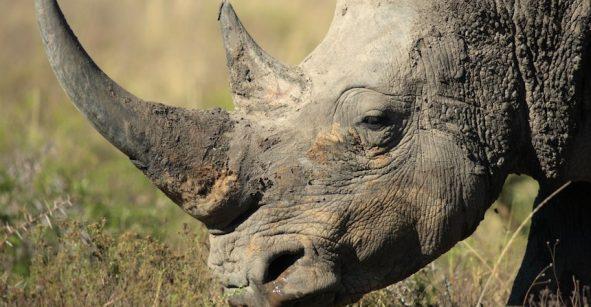 Cazadores furtivos matan a un rinoceronte en un zoológico en Francia