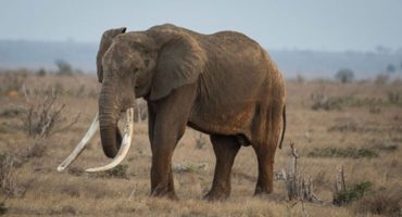 Cazadores furtivos matan Satao, el elefante más emblemático de África