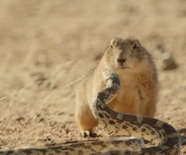 Perro de la Pradera vs serpiente