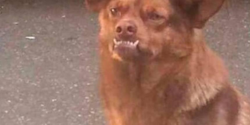 Chilaquil - El perro de los memes