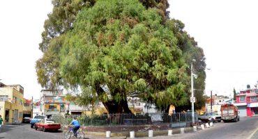 Un árbol que se llama Sabino
