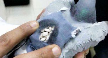 Y en la nota idiota del día: detienen a paloma que traía drogas en su mochilita