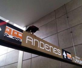 Águila se posa sobre estación Nopalera