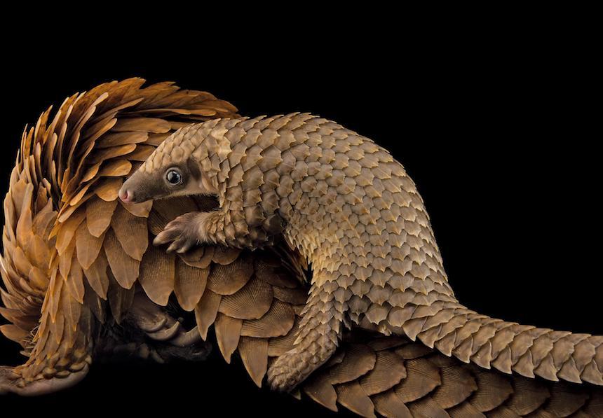 Animales en extinción - Armadillo