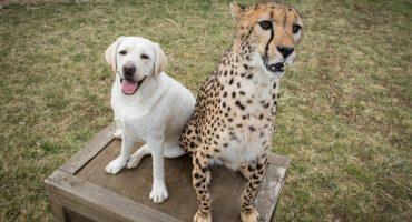 Ahora hasta los chitas nerviosos tienen perros de servicio