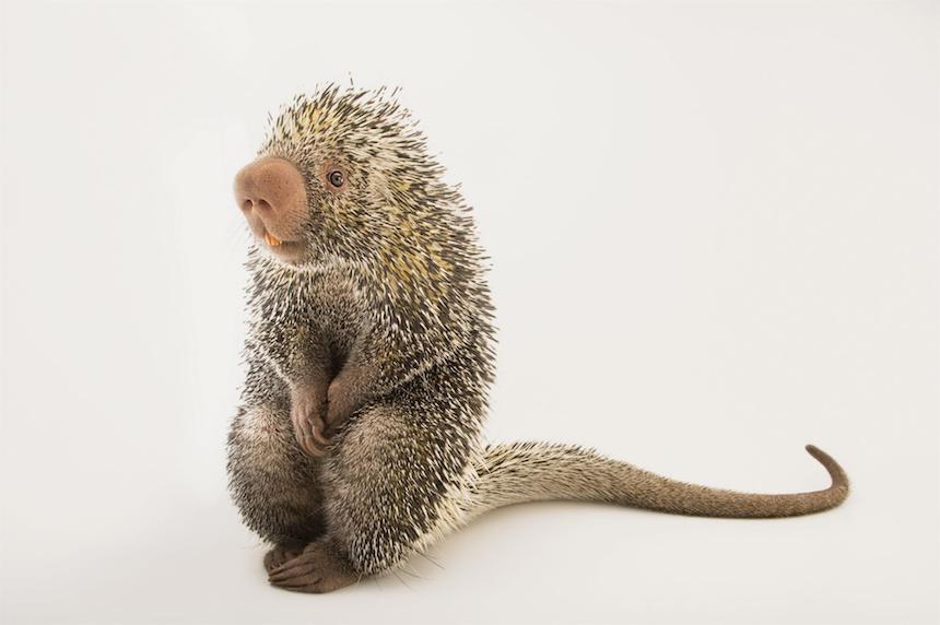 Animales en extinción - Erizo