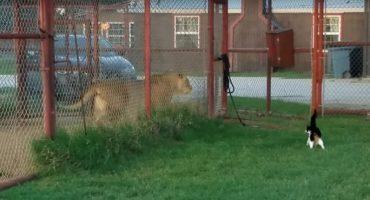 ¿Quién dice que el tamaño lo es todo? ¡Esta gatita reta a un león!