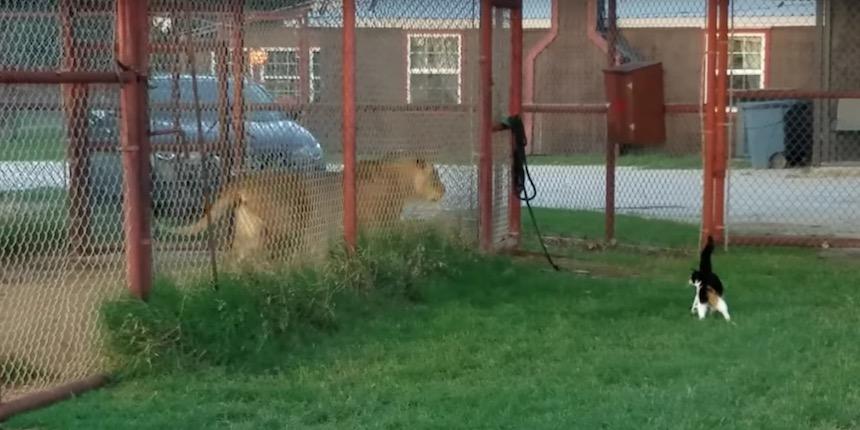 Gata que reta a un león