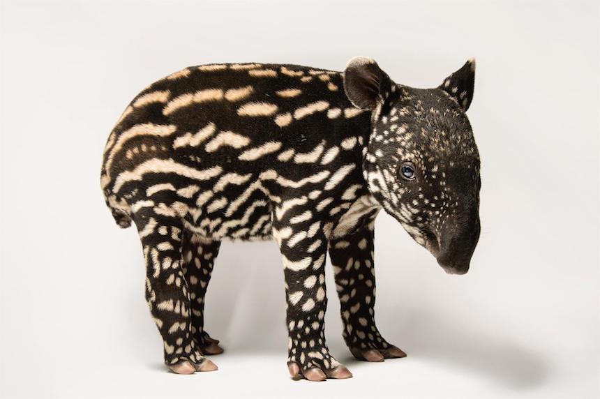 Animales en extinción - Mamíferos