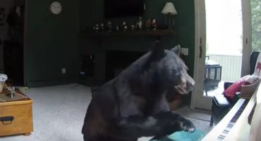 Vaciar el refrigerador y tocar el piano: actividades de un oso aburrido