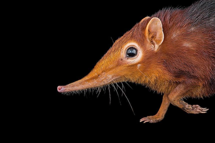 Animales en extinción - Roedores