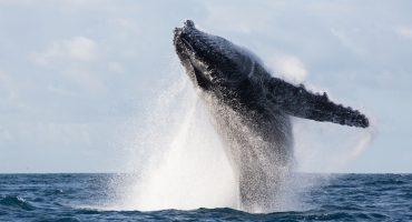 Maravíllense con estas alegres ballenas haciendo malabares