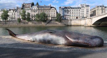 Ballena muerta encalla en el corazón de París