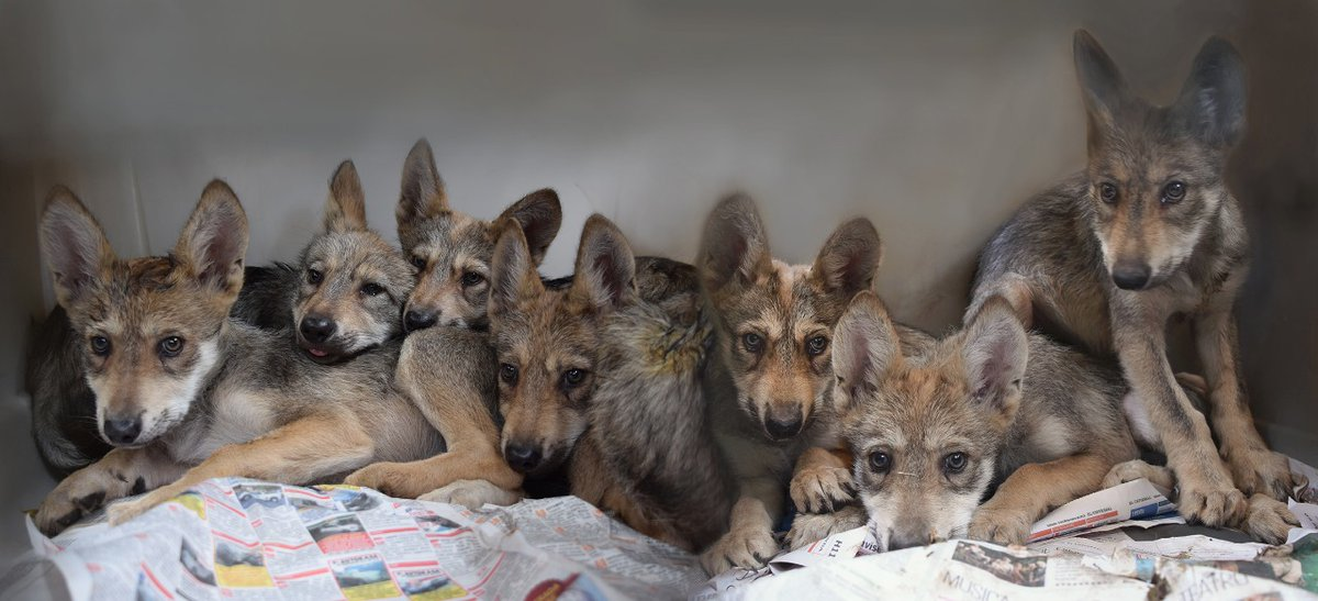 siete cachorros de lobo gris mexicano