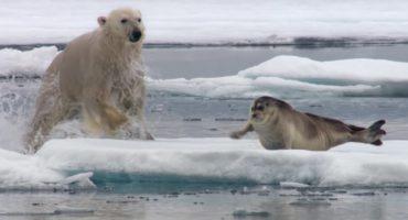 Persecución animal: un oso polar muriendo de hambre contra una foca